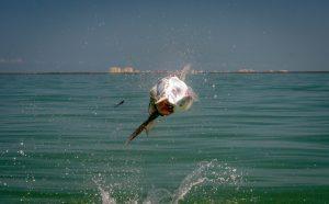 Tarpon self release near Marco Island.